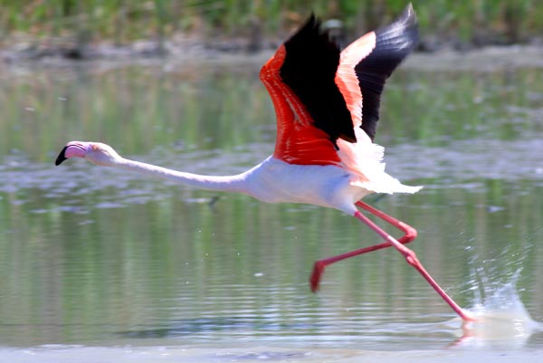 Flamant Rose Ffr