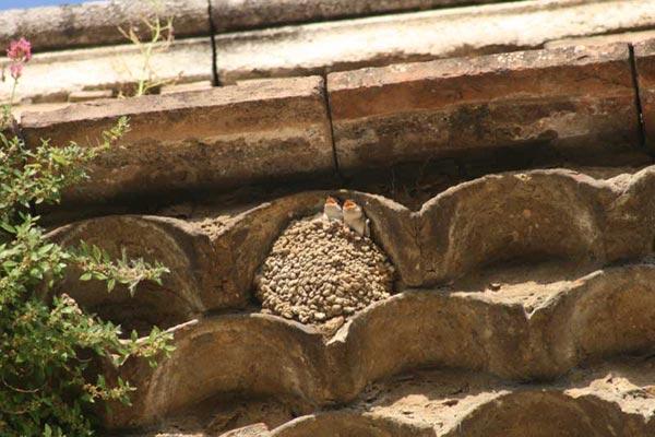 Les Hirondelles dans le Gard Protection et Observation @ Maison des gorges du Gardon | Sainte-Anastasie | Occitanie | France
