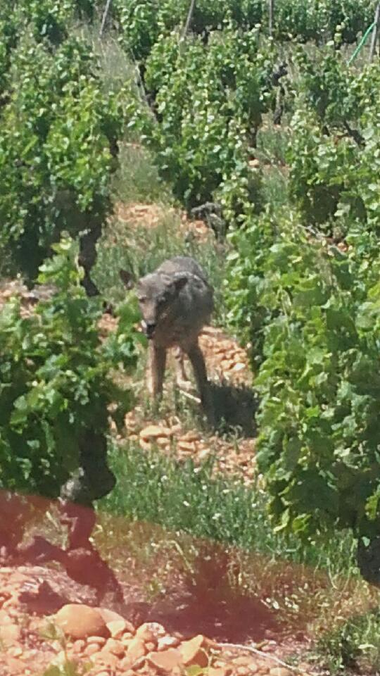 Informations Loup dans le Gard @ Maison des gorges du gardon | Sainte-Anastasie | Occitanie | France