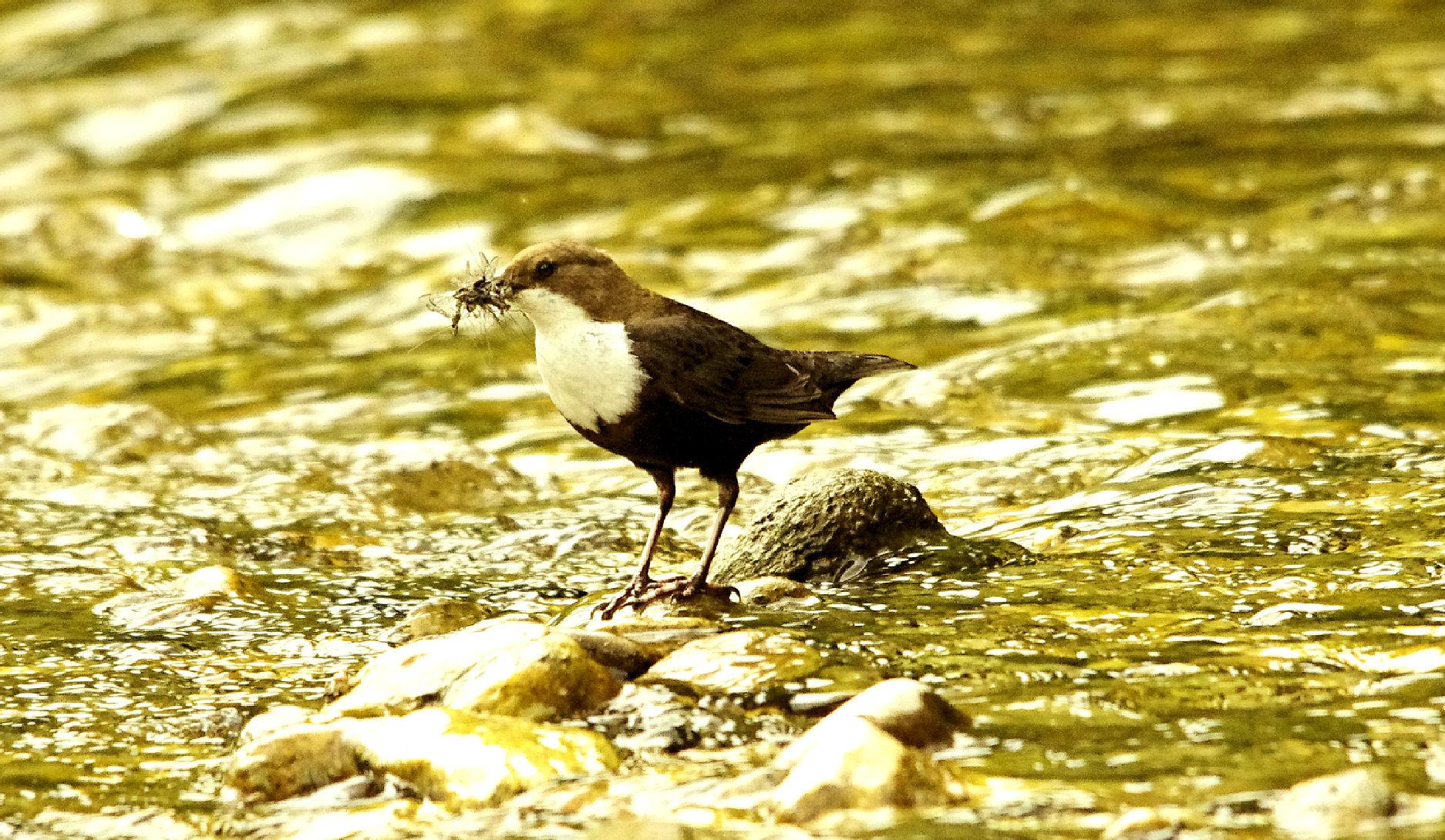 Les oiseaux des cours d'eau, témoins de la qualité de nos rivières @ Saint André de Roquepertuis