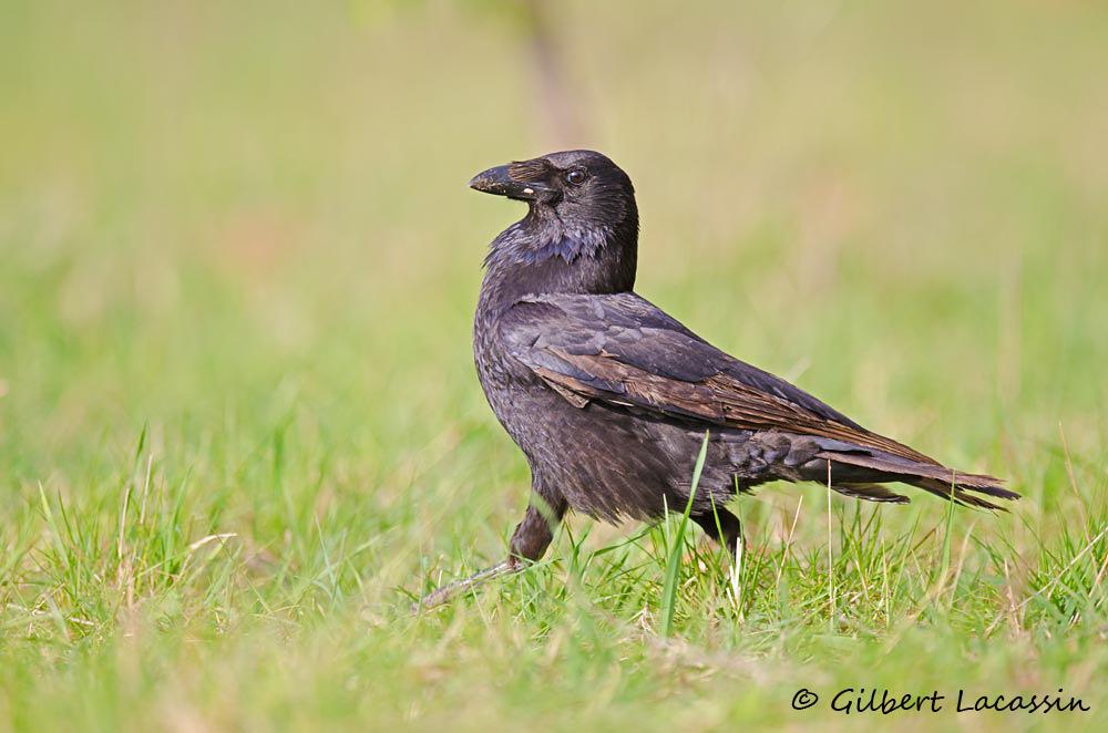 Les corvidés: oiseaux de malheurs? @ Rodilhan