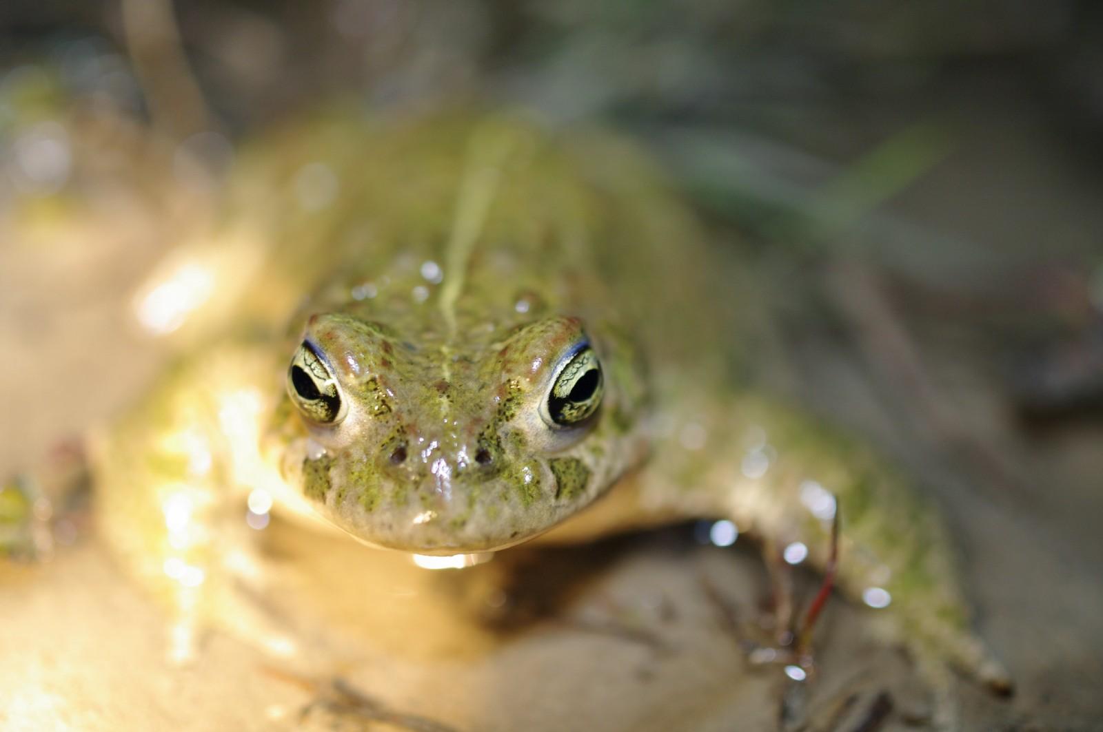 Crapauds et grenouilles des lavognes de Mejannes-le-Clap @ Méjannes le Clap