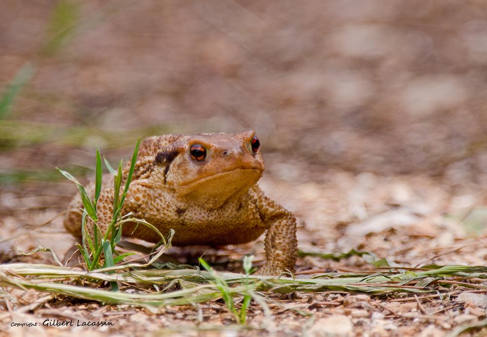 «Coa» un amphibien! @ Montagnac