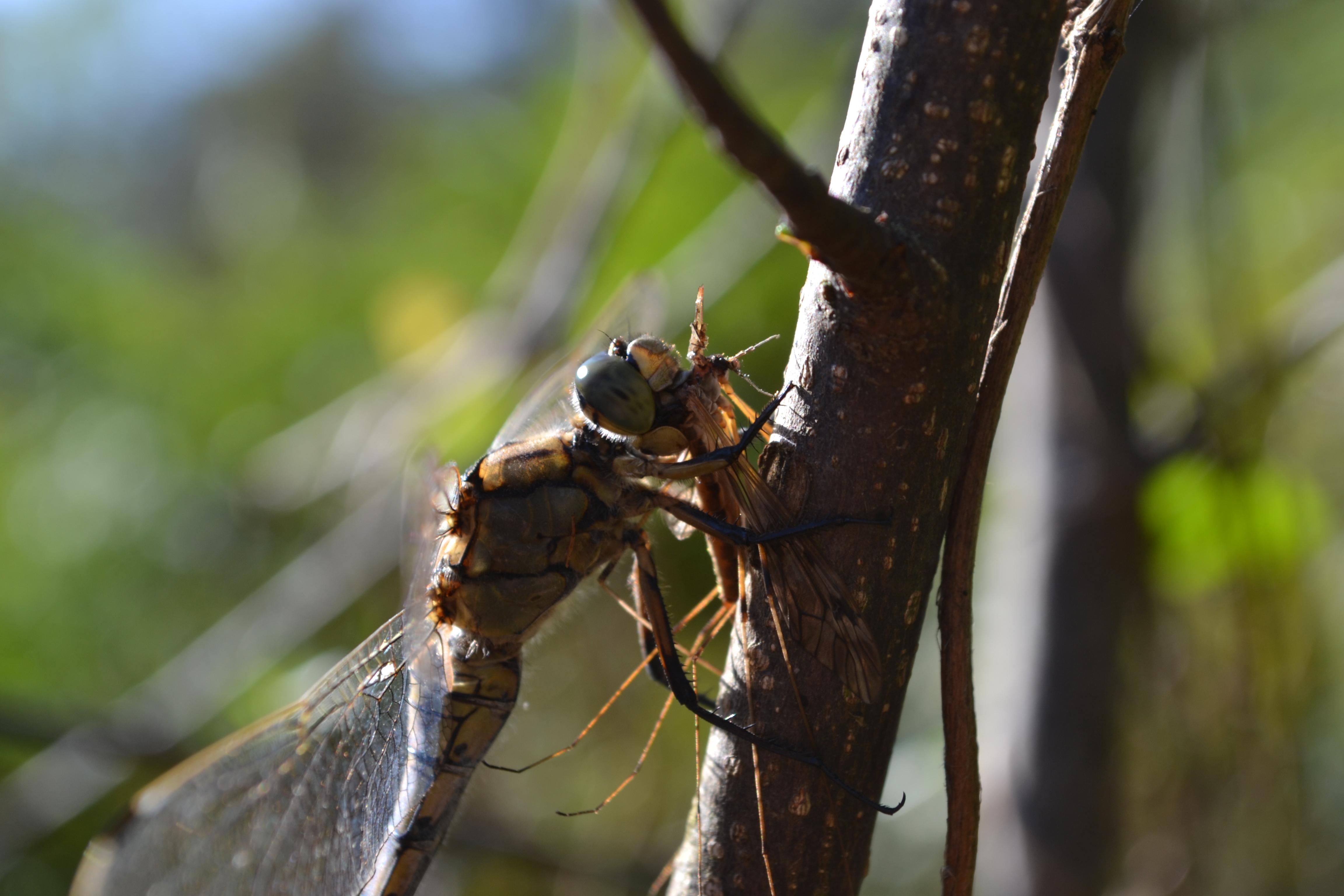 A la rencontre de ces bio-indicateurs de la qualité de nos rivières...  les libellules @ Le Cailar -Pont des Tourradons