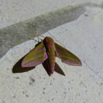 Deilephila elpenor_Sphynx vigne_1