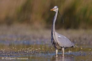 Les oiseaux des cours d'eau - Annulée pour causes de prévisions météo défavorables @ Brignon | Occitanie | France