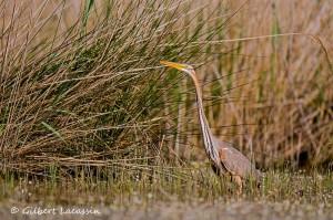 Les oiseaux des zones humides @ Saint-Gilles | Saint-Gilles | Occitanie | France