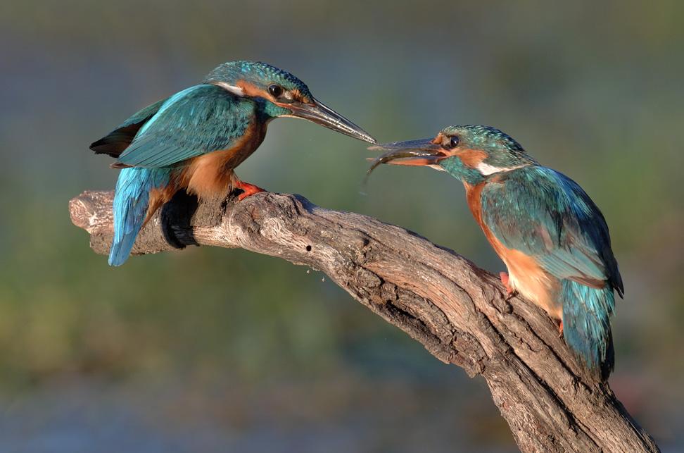 En quête du Martin pêcheur et des oiseaux du bord du Gardon @ Saint Chaptes