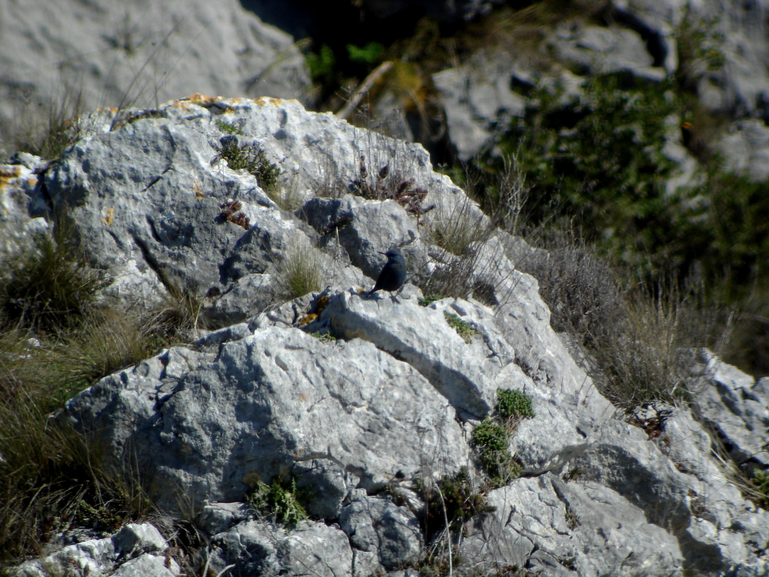 Oiseaux des gorges du Gardon, en quête du Monticole et du Tichodrome @ Collias