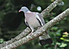 Pigeon Ramier V Rve