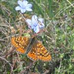 Damier Succise (Euphydryas aurinia)_Geoffrey MONCHAUX