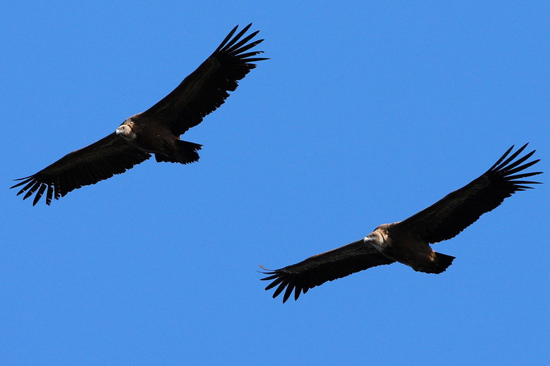 vautour Alain. R (6)