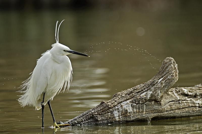 - ANNULE Les oiseaux du marais du Cougourlier @ Saint Gilles _ ENS du Cougourlier