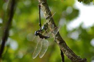 Libellules et demoiselles … Une histoire d'ailes! @ Aigues-Mortes