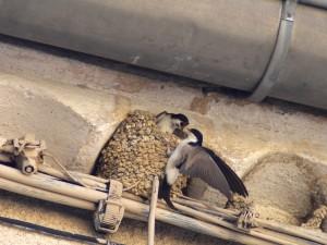 Oiseaux de bonne ou de mauvaise augure? @ St-Just-et-Vacquières